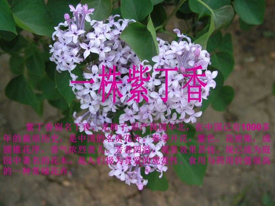《一株紫丁香》PPT教学课件下载4下载